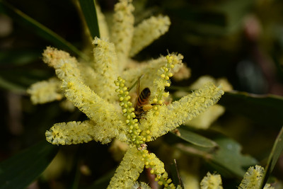 Bee working on Coast Golden Wattle; note pollen sacs.