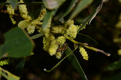 "Bee with pollen sacs on ""Acacia longifolia subsp. sophorae"", Coast Golden Wattle"