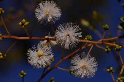 """""""Acacia ulcifolia"""""""