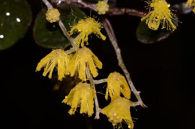 Silver Wattle Acacia podalyriifolia
