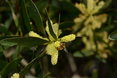 Bee on Coast Golden Wattle