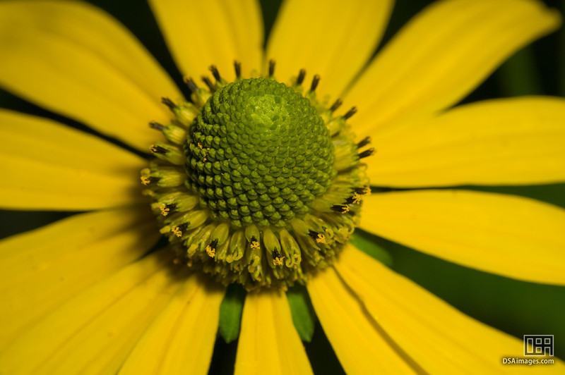 Western Mugwort (Artemisia ludoviciana)