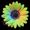"African Daisy (Osteospermum)  ""Blue Eyed Beauty"""