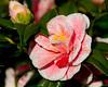Pink Camillia