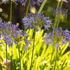 Blue Agapanthus Flowers