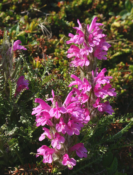Wooly Lousewort