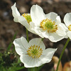 Narcissus-Flowered Anemone