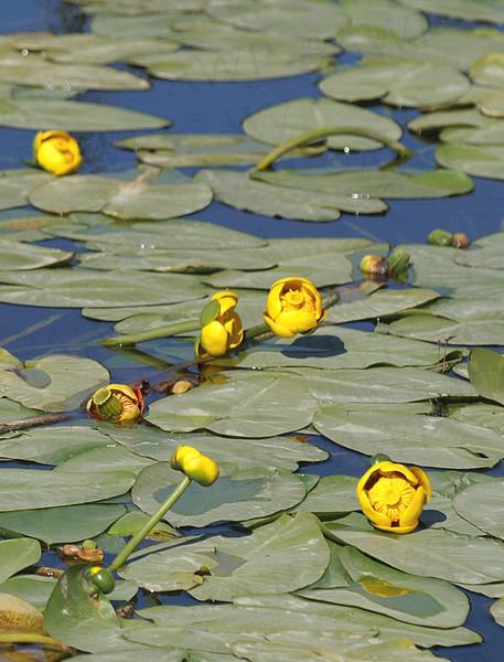 Yellow Pondlily