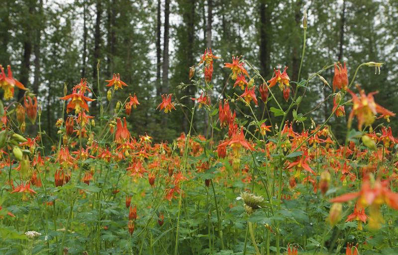 Crowd Of Columbines