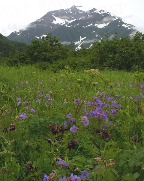 Geranium With Lilies