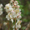 Large-Flowered Wintergreen