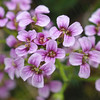 Purple Cress