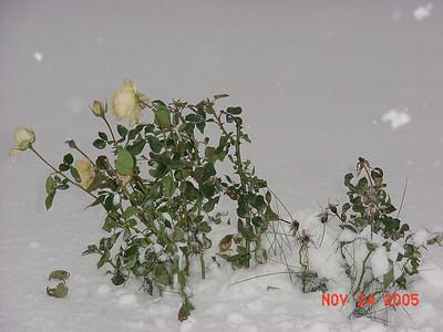 Alaskan rose ?
