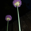 Night Flowers 1