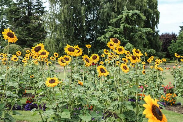 Sunflower garden at Roozengaarde in the Skagit Valley, Mount Vernon, WA