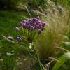 Allium prattii