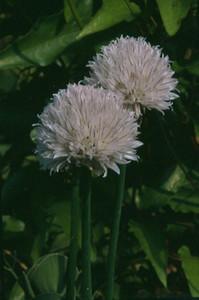 Allium schoenoprasum 'Black Isle Blush'