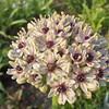 Allium 'Silver Spring'