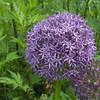 Allium 'Beau Regard'