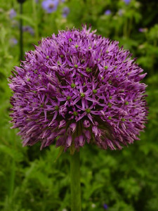 Allium 'Goliath'
