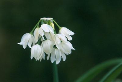 Allium paradoxa var. normale