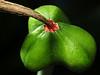 white picotee amaryllis seed pod