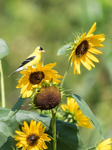 Sunflowers 26 July 2018-1956
