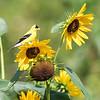 Sunflowers 26 July 2018-1956