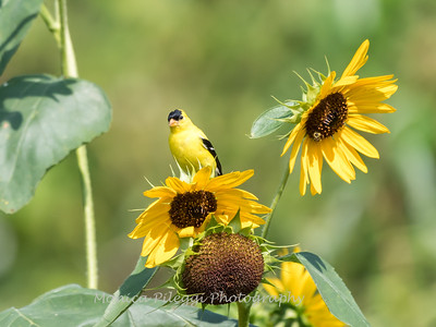 Sunflowers 26 July 2018-1957