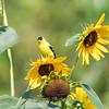 Sunflowers 26 July 2018-1957