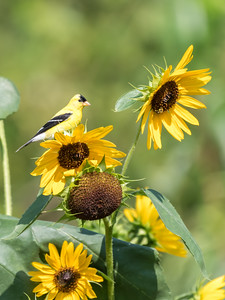 Sunflowers 26 July 2018-1955