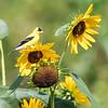 Sunflowers 26 July 2018-1955