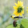 Sunflowers 26 July 2018-2126