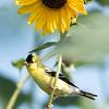 Sunflowers 26 July 2018-1941