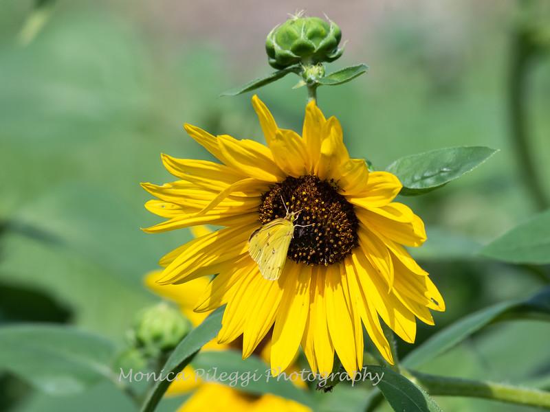 Sunflowers 26 July 2018-1937