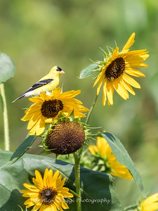 Sunflowers 26 July 2018-1954