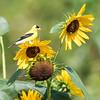 Sunflowers 26 July 2018-1954