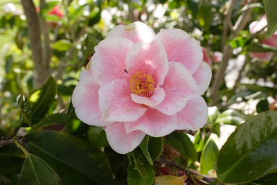Camellia with Ant