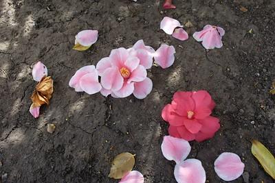 Sun Dappled Camellia