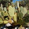 Anza Borrego Desert Cactus