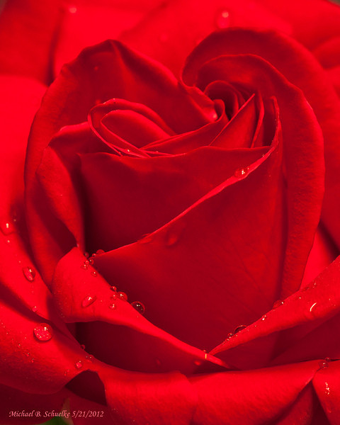 Another Rose from Art