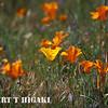 ca poppies; Antelope valley, Lancaster CA