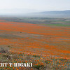antelope valley-15<br /> Acres upon acres( or hectare upon hectares) of poppies