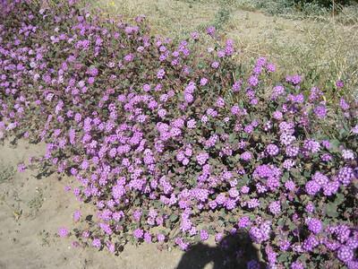 Verbena Growing Along Highway