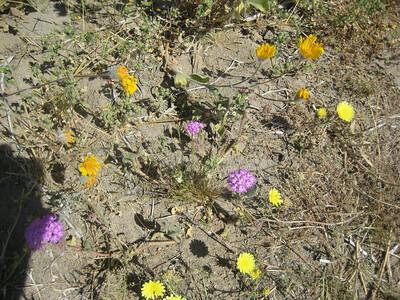Desert Dandelions with Sand Verbena