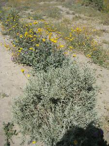 Creosote Bush with Desert Sunflowers