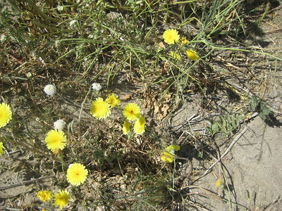 Fremont Piincushion (white flower) with desert dandelions. Red dot in the center of the danelion shows that it has not been polynated yet.