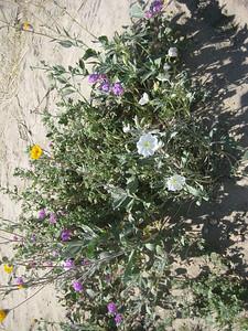 Dune Primrose (white flower)