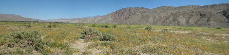 Anza Borrego Desert Wild Flowers 3/28/10