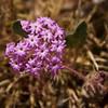 Arizona wildflower